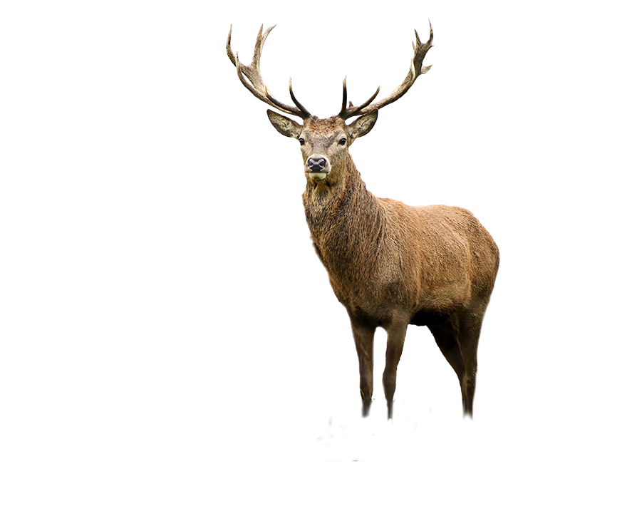 Antler Stag