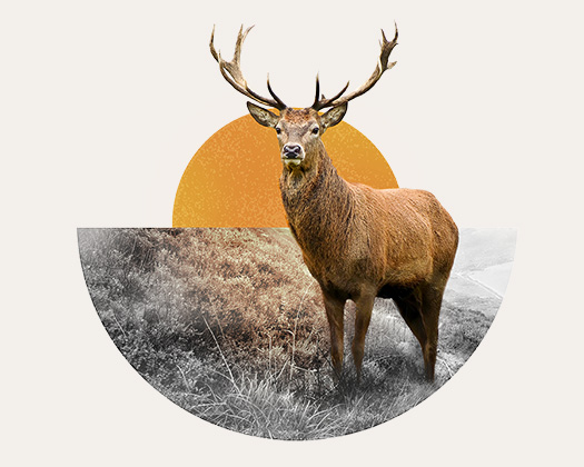 Why the Stag?